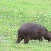 Capybara, Pantanal area of Brazil, 2/18/2018