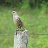 Mocking Bird, Pantanal area of Brazil, 2/18/2018