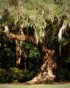 Avery Island, LA - Jungle Gardens - Cleveland Oak