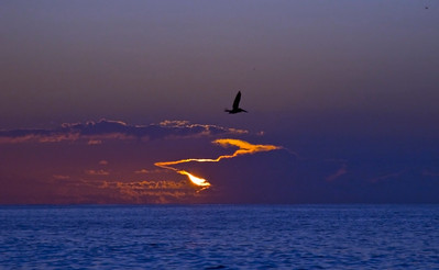 Pelican in the morning