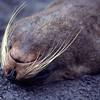 A resting fur seal