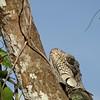 Tree Iquana head at least 50 feet away (Joel)