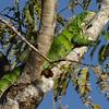 Tree Iquana at least 50 feet away. (Joel)