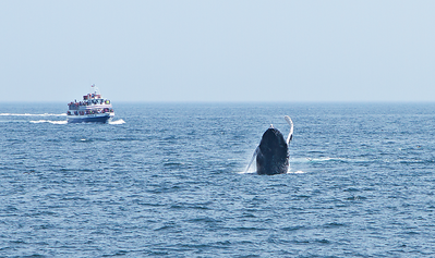 """Whale Breach"", Whale Watching Tour, Plymouth, Massachusetts"
