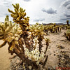 Cholla Cactus AKA Jumping Cholla because when you walk too close to it the cactus will shoot its spines into the unsuspecting visitor.  Joshua Tree National Park