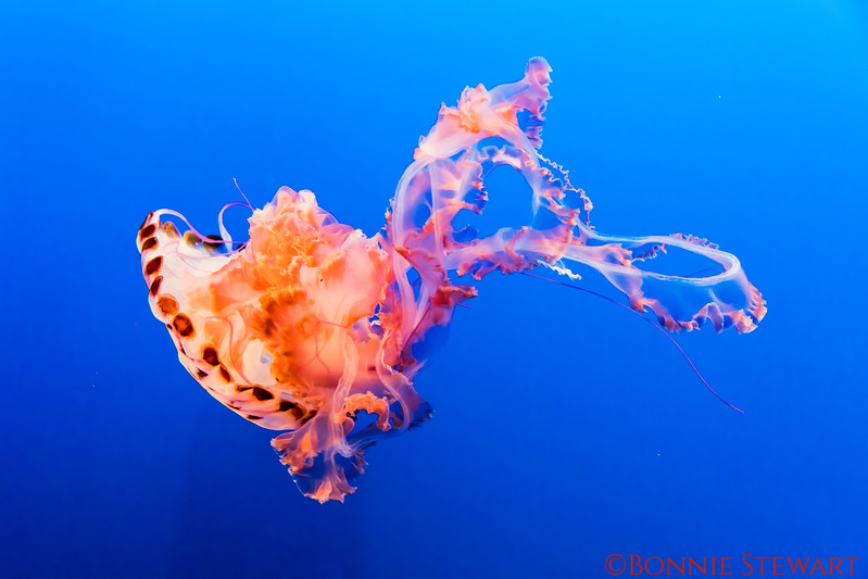 Purple Stripped Jelly Fish