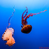Purple Stripped and Black Sea Nettle Jelly Fishes