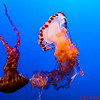 Black Sea Nettle and Purple Stripped Jelly Fishes