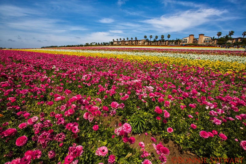 The Flower Fields at Carlsbad Ranch - 50 acres of colorful ranunculus flowers overlooking Carlsbad