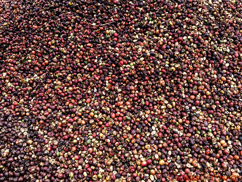 Close of up recently harvested coffee beans