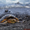 Green Turtle basking on the Punalu'u Black Sand Beach on the Big Island.  The black sand is made of basalt and is created by lava flowing into the ocean.