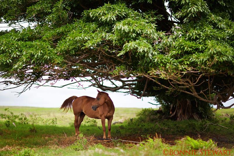 Horse under a Banyon Tree along the road to Ka Lae (South Point)