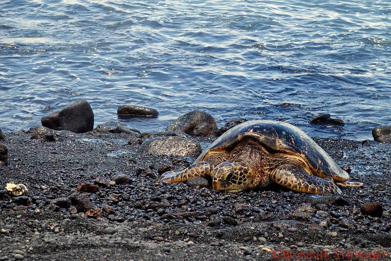 Green Turtle basking on the sand in Punalu'u Black Sand Beach