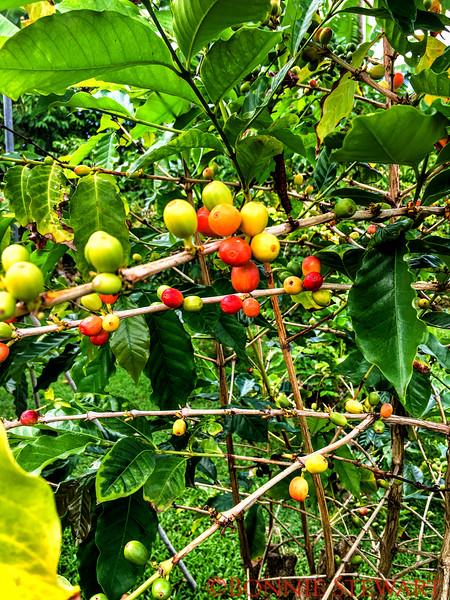 Kona coffee beans ripening on the Greenwell Coffee Plantation