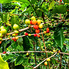 Kona coffee beans ripening on the Greenwell Coffee Plantation
