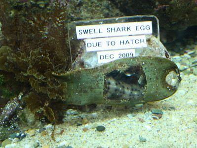 Sweill Shark Egg