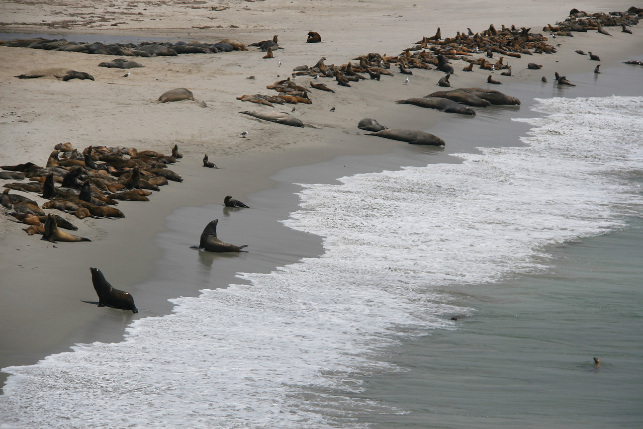 A few minutes walk away, a larger congregation of both elephant seals and sea lions are visible on the North side of Cardwell Point