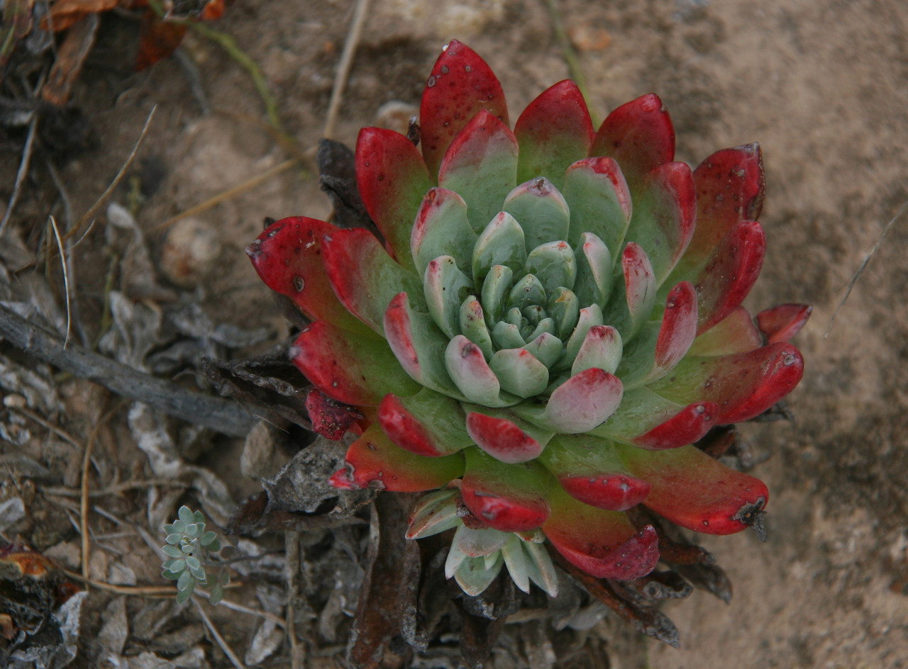 More dudleya.
