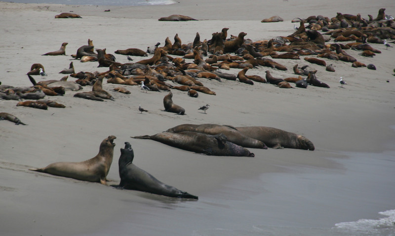 Elephant seals and sea lions