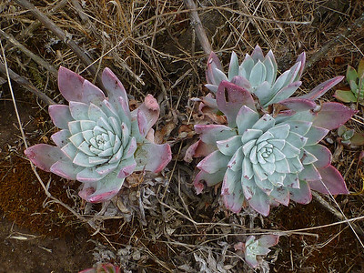 The island is covered with dudleya.