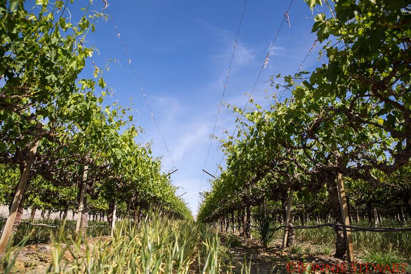 Table Grape Vineyard