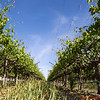 Table Grape Vineyard