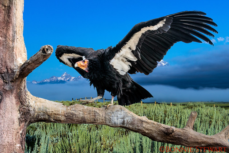 Condor flying in Jackson Hole!   This is a composite photo meaning there are two photos - one from Jackson Hole and the Condor from the SD Zoo