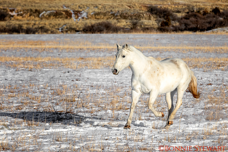Wild Horse running the plains