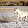 Wild Horse running the plains