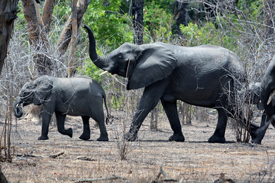 Elephants in the Niassa Reserve