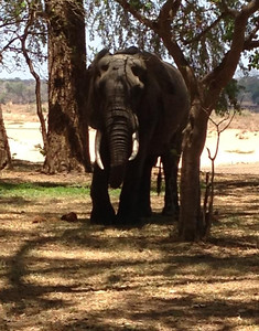 Resident elephant at the Lugenda Wilderness Camp