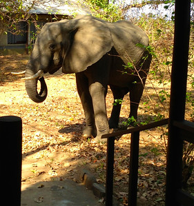 Resident elephant in Lugenda Wilderness Camp