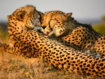 Cheetah brothers, Phinda Private Game Reserve (taken by Catherine Howell)
