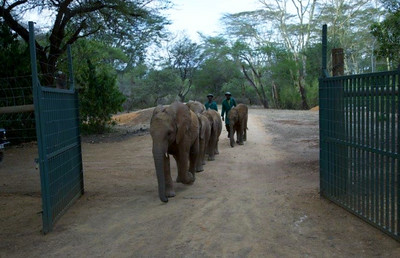 Orphans Murera, Sonje, Quanza, Zongoloni and Lima Lima entering the DSWT's Umani Springs Rehabilitation Unit in the Kibwezi Forest