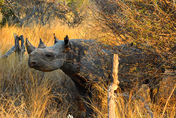 Wilderness Wildlife Trust - Black Rhino Translocation