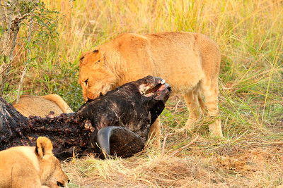 Lions on a buffalo kill in Sabi Sands - taken by Bryon Serrao