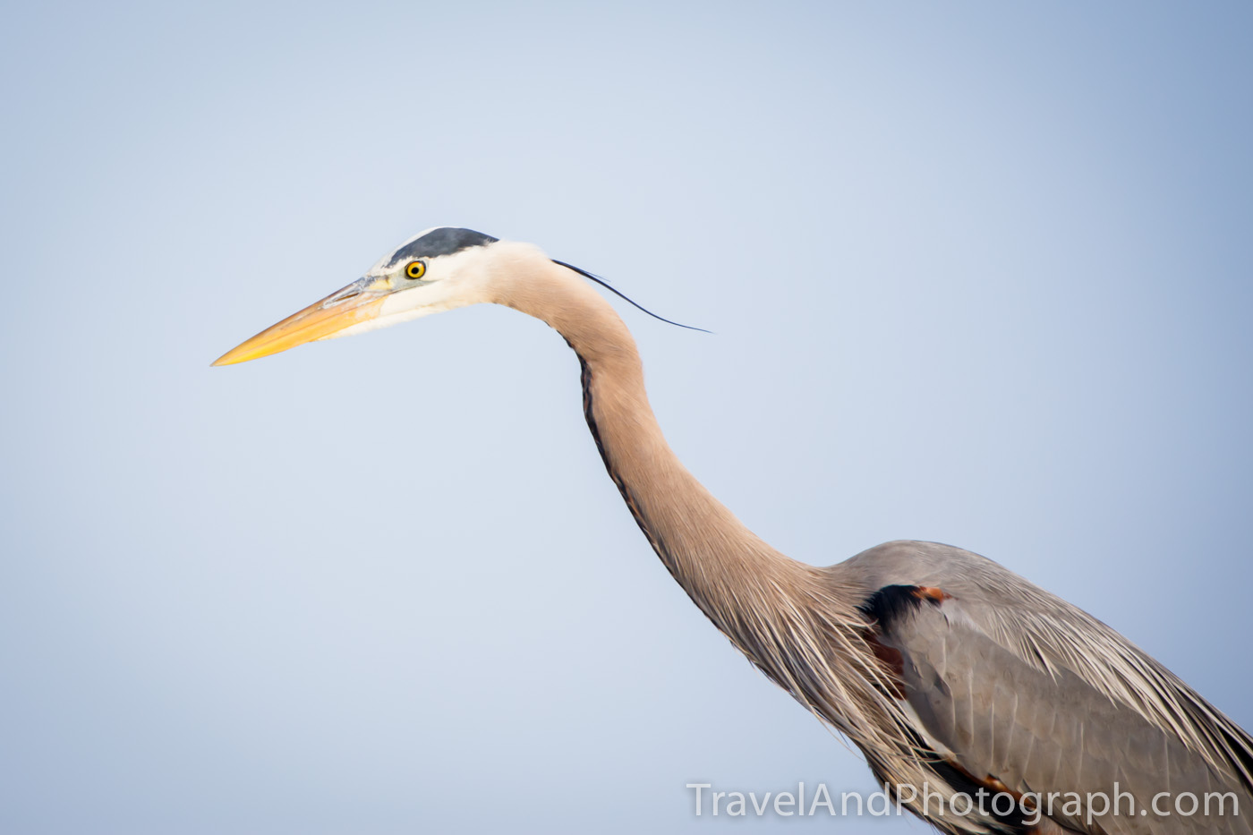 Blue Heron checking things out