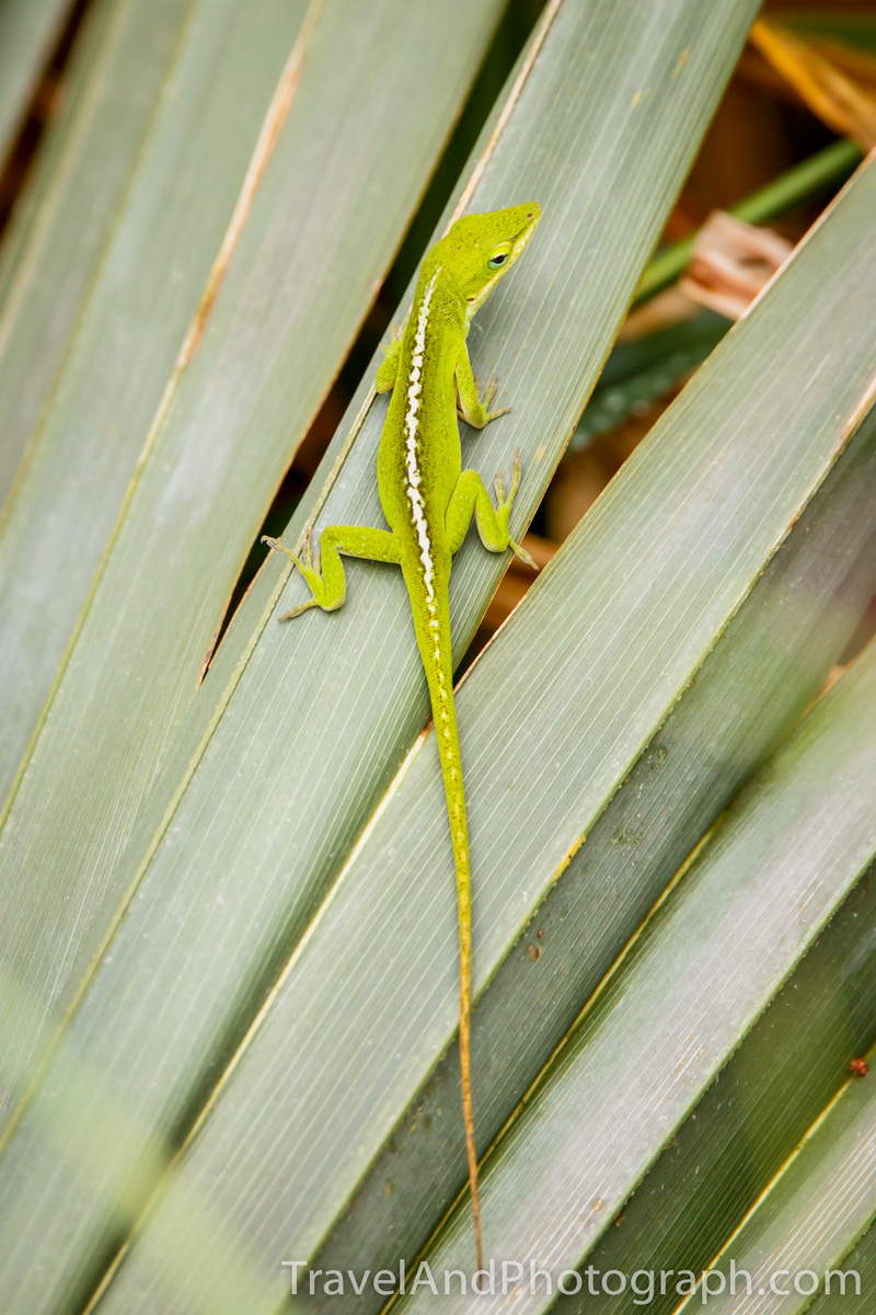 Green Anole, Louisiana, USA