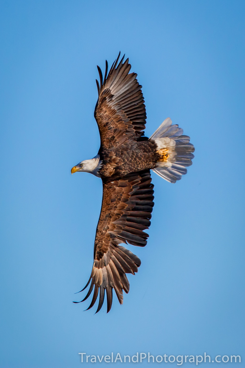 Bald Eagle in Flight with the Tamron 150-600mm VC