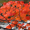 Fall Colors Maple Tree