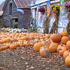 Pumpkin Harvest in Vermont