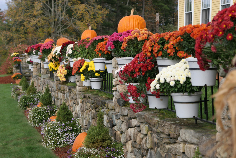 Fall mums in Resort New Hampshire