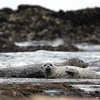 Seals and the coming tide