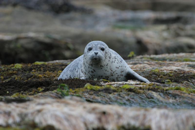 Oregon seal cub