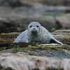 Oregon seal cub