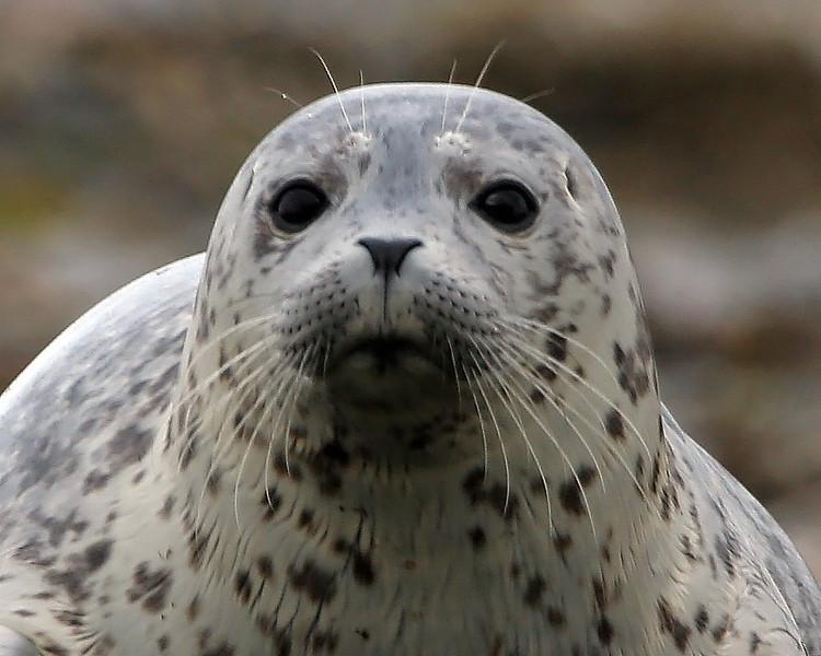 Oregon Coastline Seal