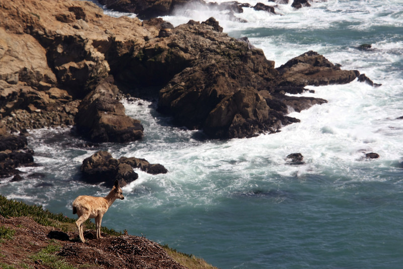 Deer fawn at Point Reyes overlooking the Ocean