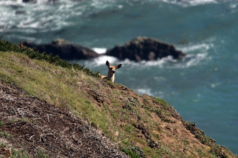 Deer Fawn at Point Reyes