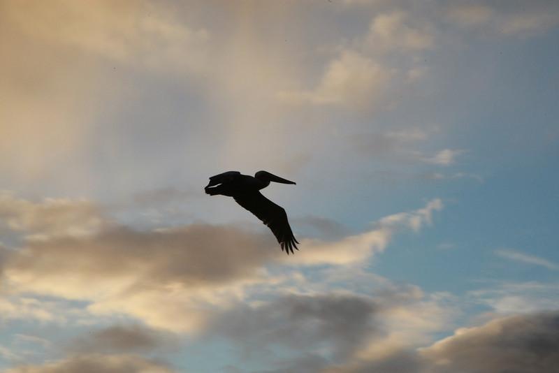 Albatross at Dusk