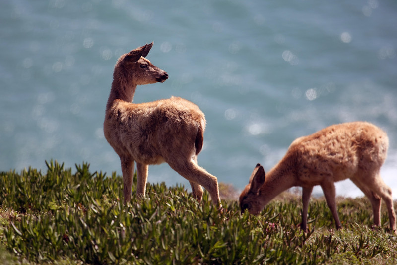 Point Reyes Deer